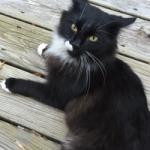 FOUND Black and White cat – Pleasant Garden