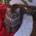 LOST Male Brown Tabby Cat – Hamilton Lakes area