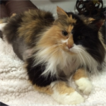 LOST – Female Long Hair Calico – College Point NY