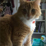 LOST – Orange White Tabby – UNCG campus