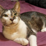 LOST – Male White and Tabby Cat