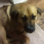 LOST – Feamle Brown Hound Dog – Friendly Ave Area
