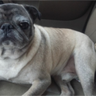 FOUND – Male Pug – Gibsonville Area