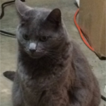 LOST- Gray Female Cat – Bur-Mill Area