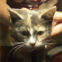 LOST – Female Calico Cat – Madison Road area – High Point