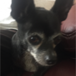 FOUND – Male and Female Chihuahua – New Garden area