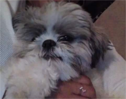 LOST – Male Shih Tzu – Carlisle Way High Point Area