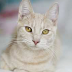 LOST – Male Sandy Colored Tabby Cat
