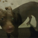 FOUND – Pit bull puppy – Henderson Road Greensboro area