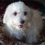 FOUND – Male Maltese – Hedgewood Lane High Point Area