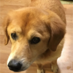 FOUND – Mixed Golden Retriever – Greensboro Wendover Area