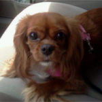 LOST – Female King Cavalier – Greensboro near Wendover Ave.