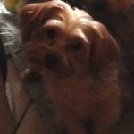 LOST – Female Yorkie – Rindle Drive High Point area
