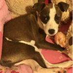 LOST – Female Stanfor Terrier Pit Bull Mix – Coliseum Blvd area