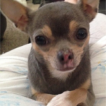 LOST – CHIHUAHUA (FEMALE) – SKEET CLUB ROAD AREA