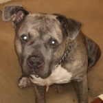 LOST – Male American Pitbull – Wendover Ave. area