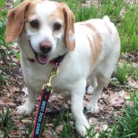 FOUND – Beagle Mix – Hamilton Lake Park area