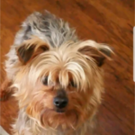 LOST- Male Yorkie – Mitchell Park Greensboro Area