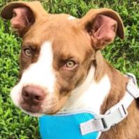 FOUND – Pit bull mix puppy – Jamestown area