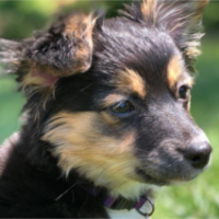 LOST – Chihuahua mix – Laurel Brook area