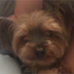 LOST – Male Yorkie – Darden Street Creekridge area