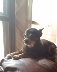 LOST – Male Chihuahua – Randleman area