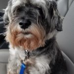 Found – Older Grey male Miniature Schnauzer – Browns Summit