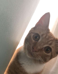 LOST – Male Orange White domestic short hair cat
