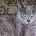 LOST – Male Steel Grey Cat – Nichols Ave area