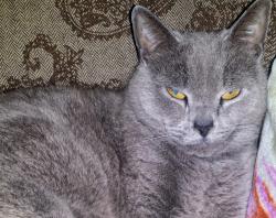 LOST – Male Steel Grey Cat – Nichols Ave area