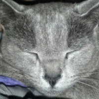 LOST – Steel Grey Male Cat – Nichols Ave area