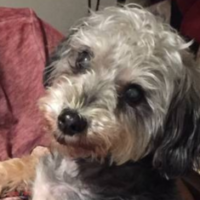LOST – Schnauzer-Poodle mix – Brompton Rd/Montrose Dr area