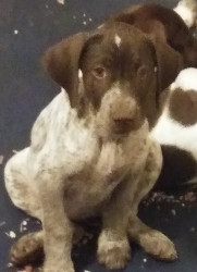 LOST – German Shorthaired Pointer – Chateau Drive area