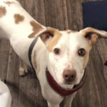 LOST – Australian cattle/ terrier mix – Greensboro area