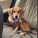 LOST – Female Beagle Mix – Jamesford Meadows area – REWARD!