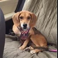 LOST – Female Beagle Mix – Jamesford Meadows area – REWARD!