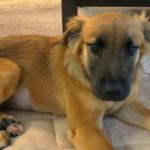 LOST – Female Shepher/Retriever Mix – Stokesdale area