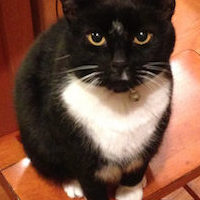 LOST – Black and White Male Cat – Stokesdale Area