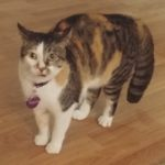 LOST – Female Calio Cat – West Friendly Ave area