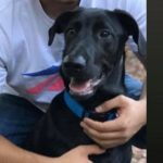 LOST – Black Male Lab Mix – Greensboro area