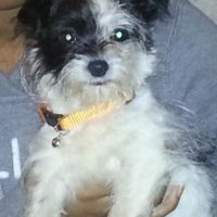 LOST – Female Black and White Shih Tzu Mix – Cleburne Street Greensboro area