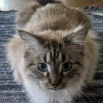 LOST – Grey & White Tabby/Siamese – Greensboro Area