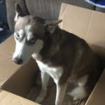 LOST – Red and White Husky – Clay Street Greensboro area