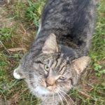 FOUND – Male Grey Tabby Cat  – Friendly Center area
