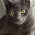 LOST – Male Grey Shorthair Cat – Friendly Ave. Area